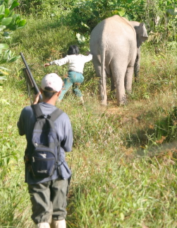 Going after a Bornean Pygmy elephant (<i>Elephas maximus borneensis</i>) that has just ... / ©: WWF-Canon / A. Christy WILLIAMS