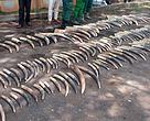 Ivory tusks seized from traffickers in eastern Cameroon