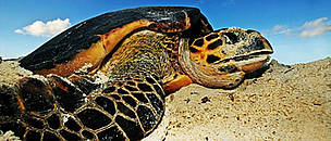 Hawksbill turtle (<i>Eretmochelys imbricata</i>) laying eggs on a beach above high ... / ©: WWF / Martin HARVEY