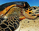 Hawksbill turtle (<i>Eretmochelys imbricata</i>) laying eggs on a beach above high water mark. Seychelles. Distribution: Tropical and subtropical oceans worldwide.