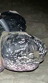 The leatherback turtle named Shelldon. Click to view an enlarged picture. / ©: WWF-Canon / Carlos Drews