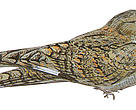 Newly found bird, Sykes's Nightjar