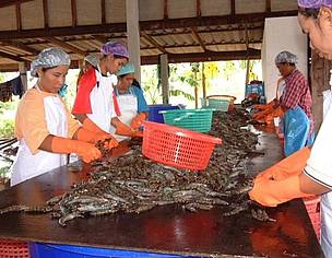 Shrimp processing