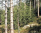 Larch tree (<i>Larix</i>), Sakha Republic (Yakutia), Siberia, Russian Federation.
