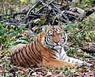 The Siberian tiger is one of several endangered species living in China's Heilongjiang province.