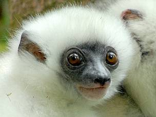 The critically endangered silky sifaka or silky simpona (Propithecus candidus), a lemur species which is endemic to Marojejy National Park and Anjanaharibe Sud Special Reserve.