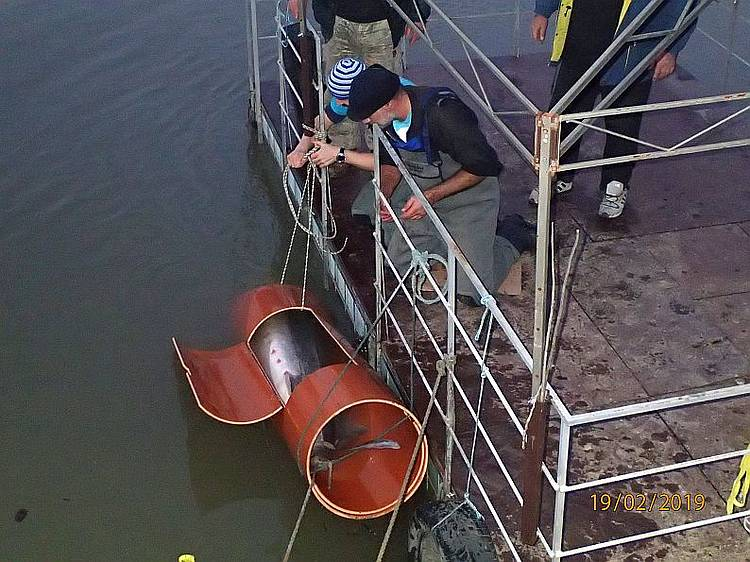 Beluga Sturgeon Saved from Poacher!