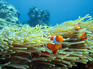 Since Finding Nemo clownfish populations have decreased