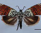 "Sirindhornia chaipattana, one of the newly discovered ""Princess"" moths"
