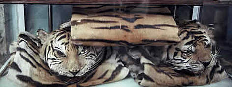 The skins of Indochinese tiger (<i>Panthera tigris corbetti</i>) and other rare cats ... rel=