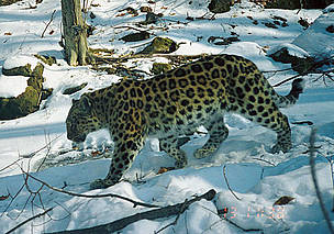 Skrytnaya is a female amur leopard (<i>Panthera pardus orientalis</i>) who has had at least 3 litters of kittens. We have not seen her since 2004.