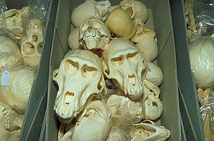 Skulls of Great apes seized at customs.  / ©: WWF / Wil LUIIJF