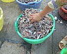 Small fish are removed in massive amounts every year, often used for fish feed in aquaculture farms