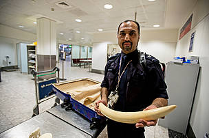 Viv Pullha (Border Force) with seized elephant tusk.