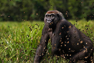 Largest ever study of gorillas and chimpanzees, finds more than expected, but their future remains in peril with worrying declines and 80 per cent living in unprotected areas