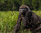 Western lowland gorilla (Gorilla gorilla gorilla) female 'Malui' walking through a cloud of butterflies