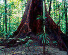 Buttress tree in swamp forest. Sitipa River. Papua New Guinea