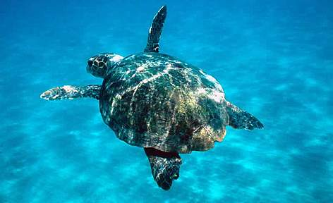 Loggerhead turtle swimming in open sea. Zákinthos, Lagana. rel=