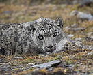 Snow leopard after being collared in Bhutan