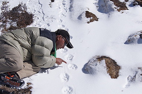 Ghana S Gurung following snow leopard tracks