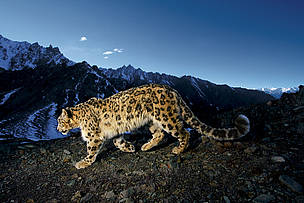 The Endangered Snow Leopard