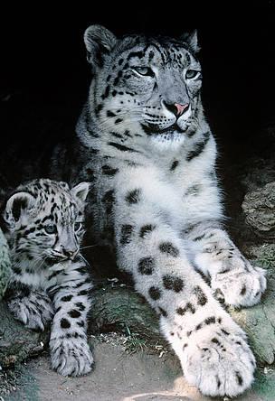 Snow Leopard Natural Habitat