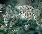 Sightings of snow leopard (<I>Uncia uncia</I>) and other wildlife have increased in the Kanchenjung Conservation Area.<BR>