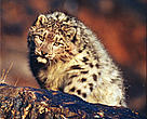 Snow leopard, Altai Mountains, Mongolia.