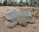 Instead of an exterior shell commonly associated with turtles, the Cantor's giant soft-shell turtle has a rubbery skin with ribs fused together to form a protective layer over its internal organs.