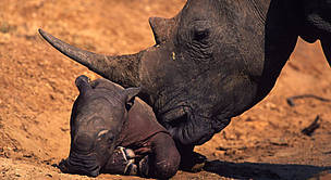 White rhinoceros. Newborn calf with characteristic pink skin. / ©: WWF / Martin HARVEY