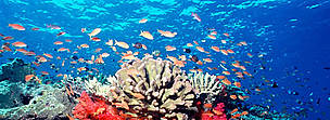 Fiji is famous throughout the world for spectacularly rich and vibrant soft coral reefs. Fed by nutrient rich currents, these soft coral gardens are havens and food sources for thousands of species of fish and invertebrates. Soft, corals, hard corals and anthias fish, Fiji.