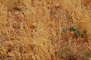 Dried-out cereal crops in Spain