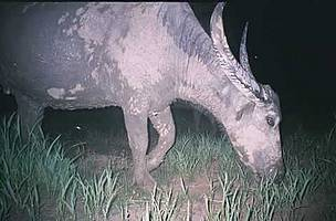 Captured by a camera trap - one of the last wild water buffalos in Cambodia / ©: WWF Cambodia Srepok Wildnerness Team