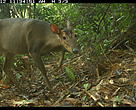 Large-antlered muntjac spotted for the first time in the wild in Quang Nam province, central Vietnam