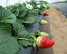Strawberry farming in Doñana, Spain