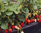 Strawberry fields grown under plastic covers in Spain cause ground water depletion.