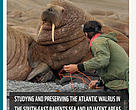Studying and preserving the atlantic walrus in the southeast Barents Sea and adjacent areas of the Kara Sea