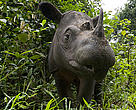 Sumatran rhino, Way Kambas National Park, Indonesia.