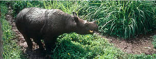 Four years old Sumatran rhino caught in Sumatra, eating papaya. Rangunan Zoo, Jakarta, Java, ...  	© WWF / Sylvia Jane YORATH