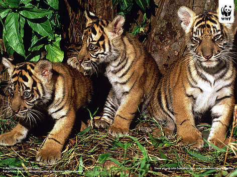 Three young cubs Sumatran tiger cubs (Panthera tigris sumatrae). rel=