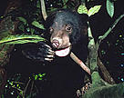 Sun bear (<i>Helarctos malayanus</i>). / ©: WWF / Terry DOMICO