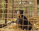 Sun Bears are often captured for zoos and for pets.  Poaching for their gall bladders is also a major threat