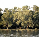 Mangrove forest on an island in the Sunderbans Tiger Reserve, Ganges Delta, India. / ©: WWF / Gerald S. CUBITT