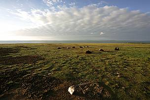Yaks in the alpine steppe environment of the Qinghai-Tibet Plateau, China.