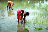 Planting rice in the rice fields of the west coast, Sri Lanka. / ©: WWF / Mauri RAUTKARI