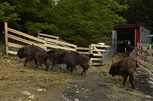 Bison reintroduction in the Southern Carpathians of Romania