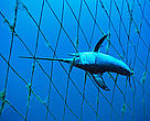 Swordfish bycatch