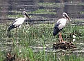 Asian openbill (<i>Anastomus oscitans</i>) depends on wetlands to survive. Its long ...  	© WWF / Helena Telkanranta