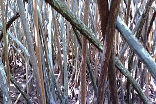Tangled aerial roots of stunted Rizophora selana (a red mangrove species)
