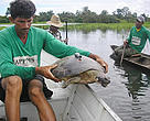 Project staff fit a radio transmitter on an Amazon river turtle. São Miguel Island, Brazil.